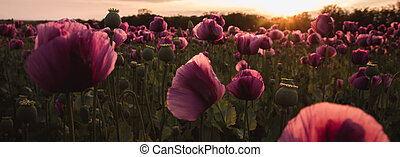 Field of lilac Poppy Flowers on sunset in early Summer