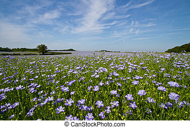 Field of Linseed or Flax in flower - Field of linseed oil...