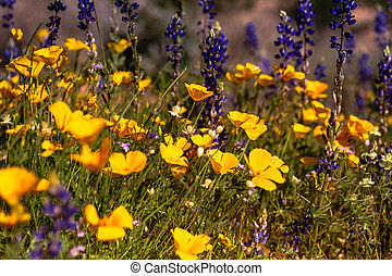 Field of Mexican Yellow Poppies and puple Lupine and other wildflowers in the Sonoran Desert in Arizona