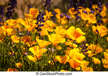 Field of Mexican Yellow Poppies and puple Lupine in the Sonoran Desert in Arizona