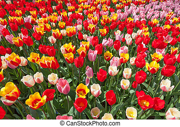 Field of multiple colored tulips
