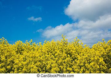 Field of Mustard - A field of mustard plants against a blue...