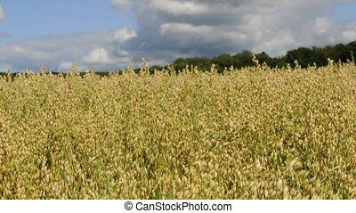 oat - field of oat