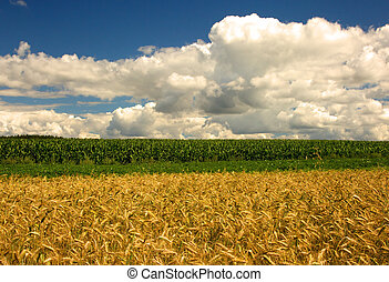 Field of oats and corn under blue sky