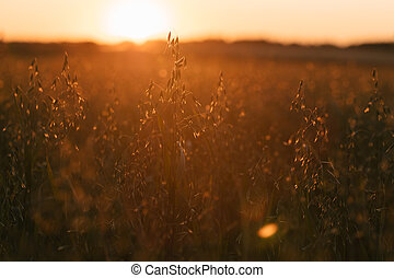 field of oats at sunset