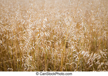 Field of oats. Harvest season