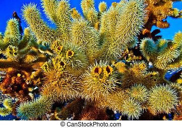 Field of Ocotillo Cactus in Cholla Cactus Garden - Joshua Tree National Park California