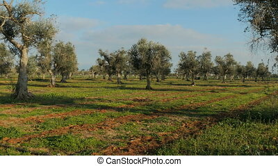 Field of olive trees in the south of Italy