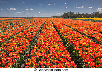 Field of orange and yellow tulips