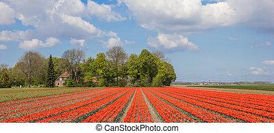 Field of orange tulips and a farm