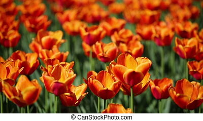 field of orange tulips blooming - shallow depth of field
