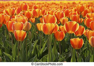 Field of orange tulips in Holland