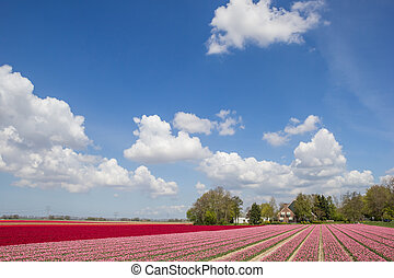 Field of pink and red tulips