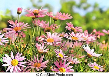 Field of pink camomiles