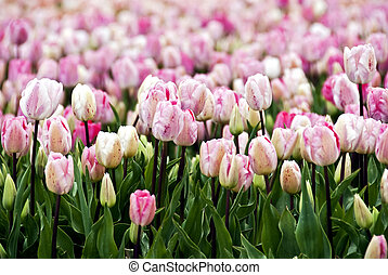field of pink parrot-tulips - Endless field of pink to white...
