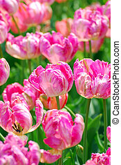 field of pink parrot tulips with variety Diana Ross
