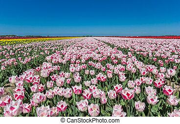 Field of pink tulips in Noordoostpolder