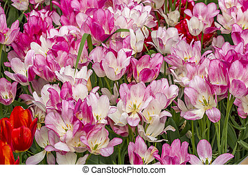 field of pink tulips.
