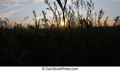 Field of plants after the rain at sunset. The sun is reflected in the drops. Moving camera. Great background for your text