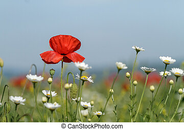 Field of poppies and daisies