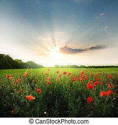 Field of poppies flowers