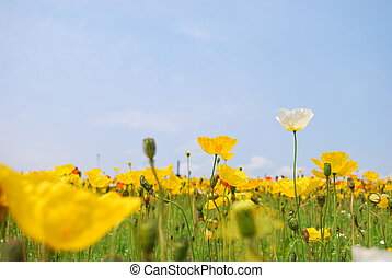 Field of poppies in full bloom. Symbolizing the spring or...