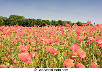 field of poppies in rose color
