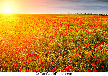 field of poppies in the sun at sunset