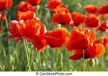 Field of poppies - Field of beautiful red poppies with green...