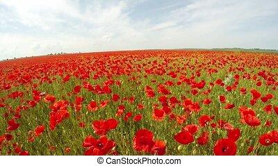 field of poppy flowers. Slow motion.