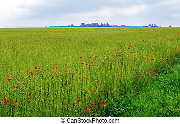 Field of Poppy. Vivid view on a summer day