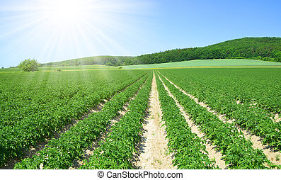 Field of potato crops in a row and sunny sky. Spring rural...