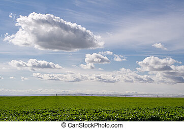 Field of potatoes with clouds in sky - A field of potatoes...