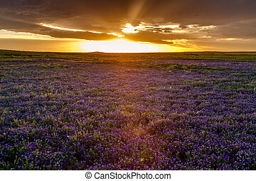 Field of Purple Flowers at Sunset