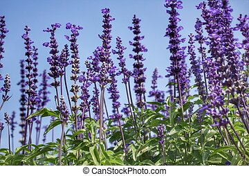 purple salvia flowers - field of purple salvia flowers