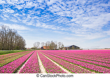 Field of purple tulips and a farm in Noordoostpolder