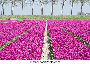 field of purple tulips in holland