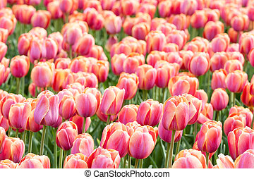 Field of purple tulips in the Netherlands