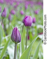 Field of purple tulips