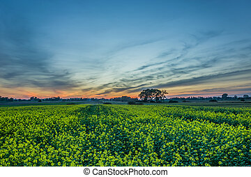 Field of rape and sunset