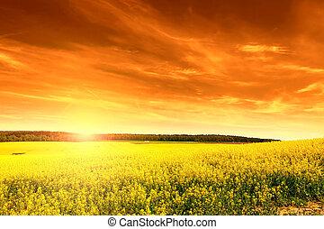 Field of rape at sunset
