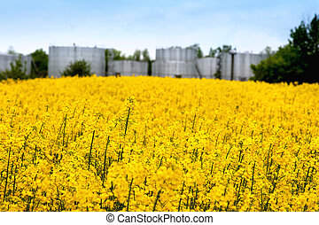 Field of Rapeseed blossoming Grain reservoir background