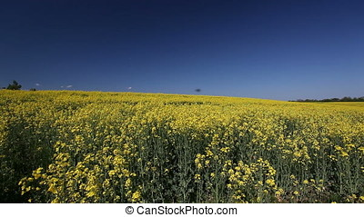 Field of Rapeseed Blossoms - Field of rapeseed blossoms. Few...