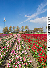 Field of red and pink tulips and a farm