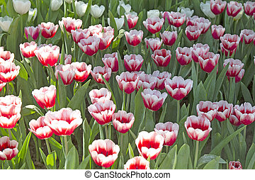 field of red and white tulips in the garden