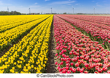 Field of red and yellow tulips in Flevoland