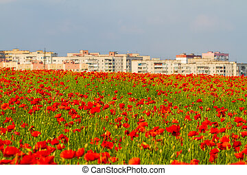 Field of red poppies flowers