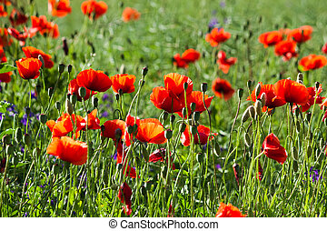 Field of red poppies in the sun
