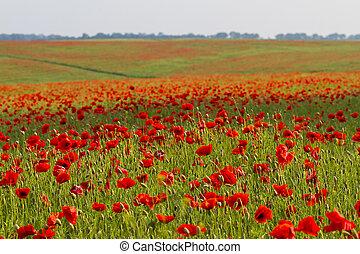Field of red poppy