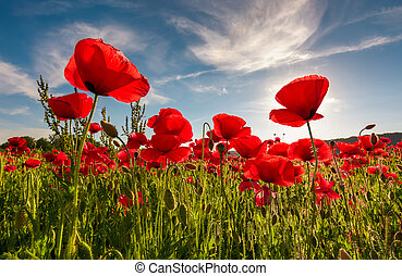 field of red poppy flower shot from below - field of red...